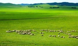 Wiese u. Schafe Stockfotos