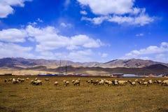 Wiese und Schafe Lizenzfreie Stockfotografie