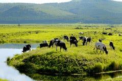 Wiese und Vieh Lizenzfreies Stockfoto