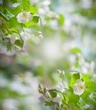 Wiese voll des gelben Löwenzahns Blühender Apfelbaum des Frühlinges mit Regentropfen Lizenzfreies Stockfoto