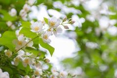 Wiese voll des gelben Löwenzahns Blühender Apfelbaum des Frühlinges mit Regentropfen Lizenzfreie Stockbilder