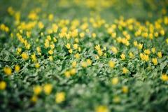 Wiese voll des gelben Löwenzahns Feld des grünen Grases gegen einen blauen Himmel mit wispy weißen Wolken Gelbe Blumen Stockfotografie