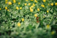 Wiese voll des gelben Löwenzahns Feld des grünen Grases gegen einen blauen Himmel mit wispy weißen Wolken Gelbe Blumen Lizenzfreie Stockfotos
