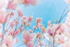 Wiese voll des gelben Löwenzahns Magnolienblumen und unscharfer Hintergrund, entspringen weiche Farben und Sommerstimmung lizenzfreie stockfotografie