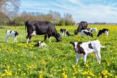 Wiese voll des Löwenzahns mit dem Weiden lassen von Kühen und von Kälbern Lizenzfreies Stockbild