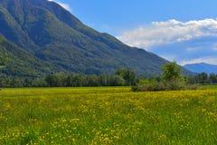 Wiese voll von blühenden gelben Blumen Lizenzfreies Stockfoto