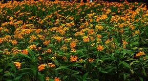 Wiese voll von gelben Blumen Lizenzfreies Stockfoto