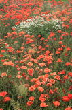 Wiese voll von wilden Blumen Stockfotografie