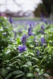 Wiese von Lavendelblumen Lizenzfreies Stockfoto