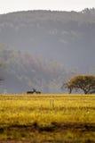 Wiese von Swasiland mit zwei Blesboks, Mlilwane-Naturschutzgebiet Lizenzfreies Stockbild