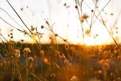 Wiese Wild wachsende Pflanzen bei Sonnenuntergang Lizenzfreie Stockfotos