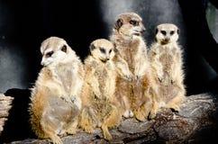 Wiesel-Familie Lizenzfreie Stockfotografie
