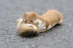 Wiesel Mustela nivalis, die getötete große Ratte tragen Lizenzfreie Stockfotografie