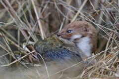 Wiesel Mustela nivalis, die große Ratte töten Stockbild