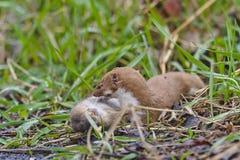 Wiesel Mustela nivalis, die große Ratte töten Lizenzfreies Stockfoto