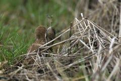 Wiesel Mustela nivalis, die große Ratte töten Stockfotos