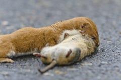 Wiesel Mustela nivalis, die große Ratte töten Lizenzfreie Stockfotos
