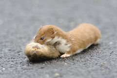 Wiesel Mustela nivalis, die große Ratte töten Lizenzfreie Stockfotografie