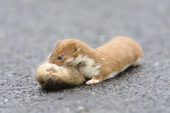 Wiesel Mustela nivalis, die große Ratte töten Lizenzfreie Stockbilder