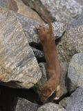 Wiesel Mustela nivalis während der Jagd für Nagetiere Lizenzfreie Stockfotografie