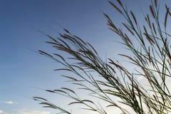 Wiesen blüht Gras mit Himmelsonnenunterganghintergrund im Winter Stockbilder
