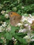 Wiesen-Brown-Schmetterling auf Blackberry-Blüte Lizenzfreie Stockfotos