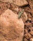 Wiesen-Brown-Schmetterling auf Felsen Stockfotos