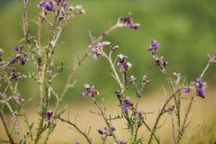 Wiesen-Brown-Schmetterlinge auf Disteln Stockfotografie