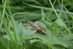 Wiesen-Heuschrecke im Gras Stockfotos