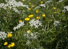 Wiesen-Kerbel-/der Königin-Anne Spitze, die mit gelben Butterblumeen wächst Lizenzfreies Stockbild