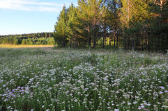 Wiesen-Sommerblüten Yarrow Ordinary Achillea-millefolium Lizenzfreies Stockfoto