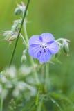 Wiesen-Storchschnabel, Geranium pratense Stock Photo