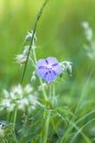 Wiesen-Storchschnabel, Geranium pratense Stock Image