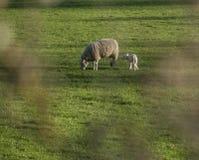Wiesen und Schafe, Höchstbezirk, England lizenzfreies stockfoto