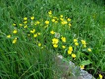 Wiesenblumen pequenos amarelos dos botões de ouro entre a grama verde da mola Imagem de Stock Royalty Free