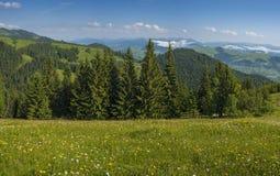 Wiesenblumen und -kräuter blühen in den Karpaten gegen den Hintergrund von Wäldern und von Bergen im Sommer lizenzfreie stockbilder