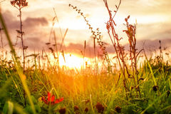 Wiesengras während des Sonnenuntergangs Stockbilder