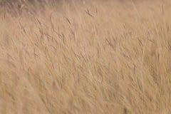 Wiesengrasblume in Landschaftsthailand-Hintergrund lizenzfreie stockbilder