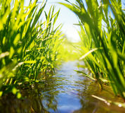 Wiesennebenfluß mit grünem Gras Stockbild