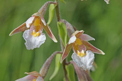 Wiesenorchidee Lizenzfreies Stockbild