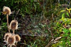Wiesenspinnennetz Stockbilder