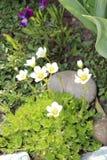 Wiesensteinbrechblumen im Garten Lizenzfreie Stockfotos