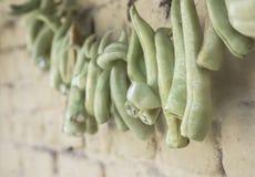 Wieszający zieleni pieprze po to, aby suszyć Obraz Royalty Free