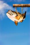 wieszanie ryb basu Obraz Royalty Free