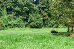 Wietnam, Afrykański bizon, rolnictwo, Amerykański żubr, zwierzę zdjęcia stock