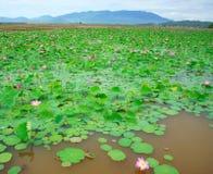 Wietnam kwiat, lotosowy kwiat, lotosowy staw Zdjęcia Royalty Free