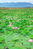 Wietnam kwiat, lotosowy kwiat, lotosowy staw Fotografia Royalty Free
