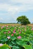 Wietnam podróż, Mekong delta, lotosowy staw Zdjęcia Stock