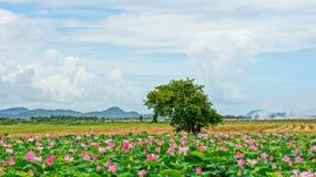 Wietnam podróż, Mekong delta, lotosowy staw Zdjęcie Stock