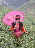 Wietnamczyka Hmong mniejszościowa etniczna dziewczyna w tradycyjnym kostiumowym zrywanie herbaty pączku Obrazy Royalty Free